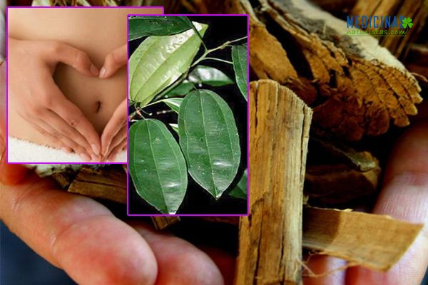 Abuta grandifolia antiinflamatorio relajante muscular y uterino