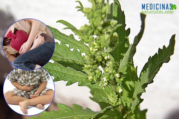 EPAZOTE, paico, planta antiparasitaria contra OXIUROS y cólicos