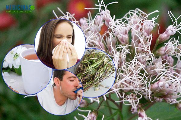 Asmachilca la planta que lucha contra el asma