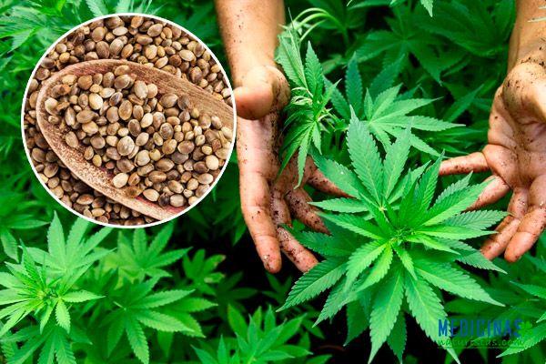 pl-canamo-cannabis.jpg