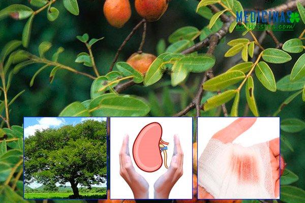 Copaiba, aceite, hojas poderoso cicatrizante y depurador de los riñones