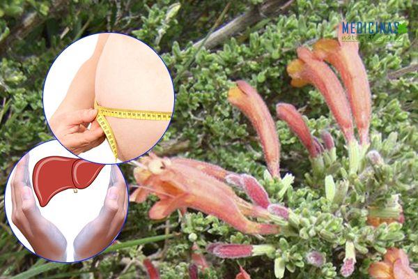 Flor de arena propiedades medicinales