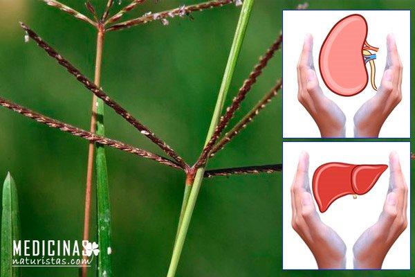 Grama la mala hierba que limpia el hígado y riñones