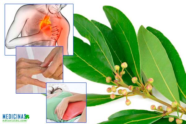 Laurel usos y beneficios medicinales