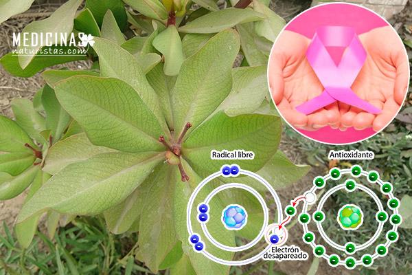 LECHERO AFRICANO, Planta de la vida PODEROSO anticancerígeno