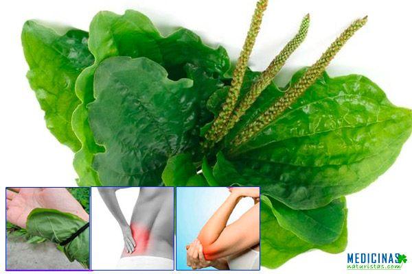 Llantén hojas milagrosas desinflamantes