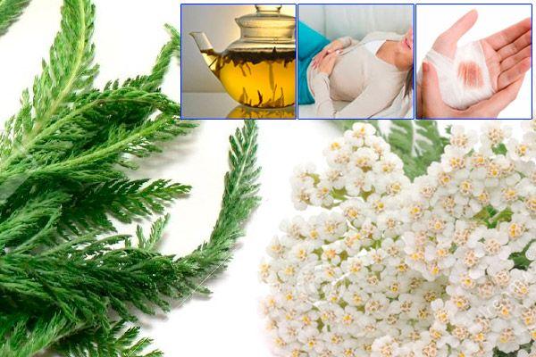 Milenrama uso y propiedades medicinales