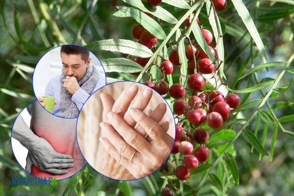 Molle para el dolor y caída de cabello (semillas, hojas y corteza)