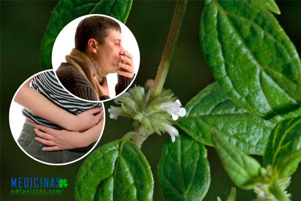 Muña alivio natural para cólicos estomacales y menstruales