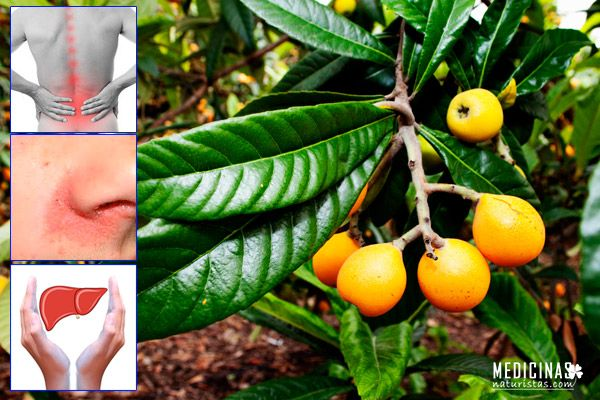Níspero frutos y hojas para la salud