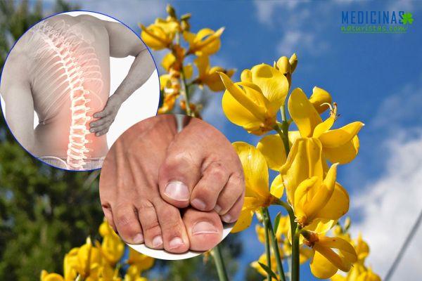 Retama propiedades medicinales para el dolor