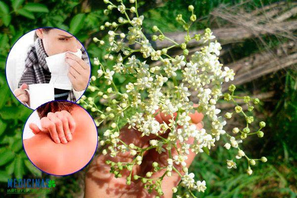 Saúco propiedades medicinales y contraindicaciones