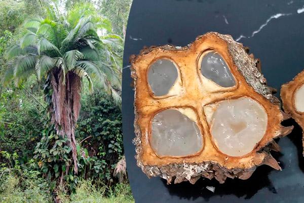 Yarina fruto amazónico para el estrés