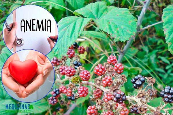 Zarzamora propiedades medicinales frutos, hojas, raíz