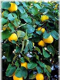 Membrillo medicinales propiedades enfermedades - Membrillo arbol ...